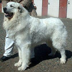 Perro Montaña de los Pirineos