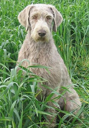 Wirehaired Solvakian Pointer