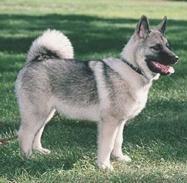 Elkhound Noruego