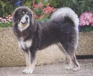 Dogo del Tibet