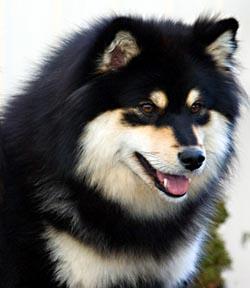 Finnish Lapphound