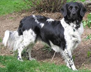 Frisian Pointer (Stabyhoun)