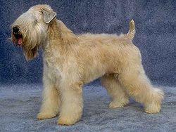Irish soft coated Terrier