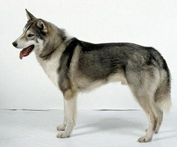 Laika de Siberia Occidental