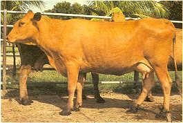 Criollo Limonero