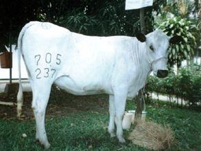 Blanco Orejinegro