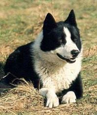 Perro de Osos de Carelia