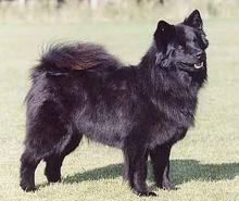 Lapphund Sueco