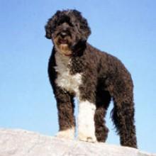 Perro de Agua Portugués