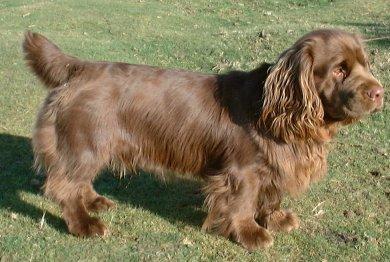 Sussex Spaniel
