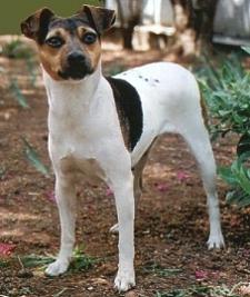 Terrier Brasilero