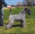 RAZA KERRY BLUE TERRIER